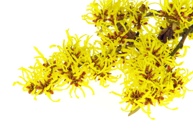 Witch Hazel Benefits For Skin
