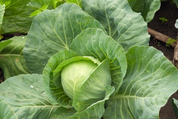 7 Day Cabbage Soup Detox