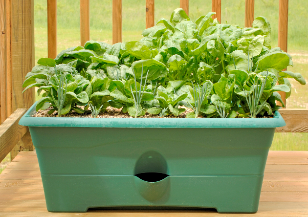 Grow Spinach And Garlic At Home