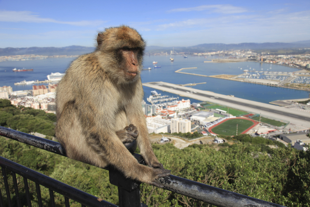 Gibraltar Aggressive Monkeys